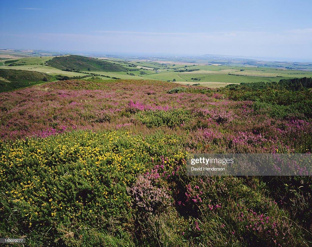 Field of flowers in rural landscape : Stock Photo