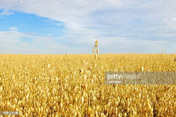 Field of Golden Oats