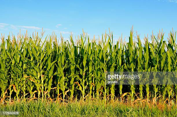 Field of healthly corn.