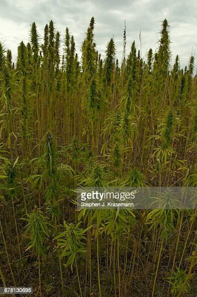 Field of Hemp Crop.