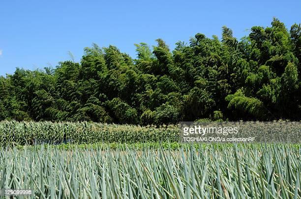 Field of Japanese Leeks