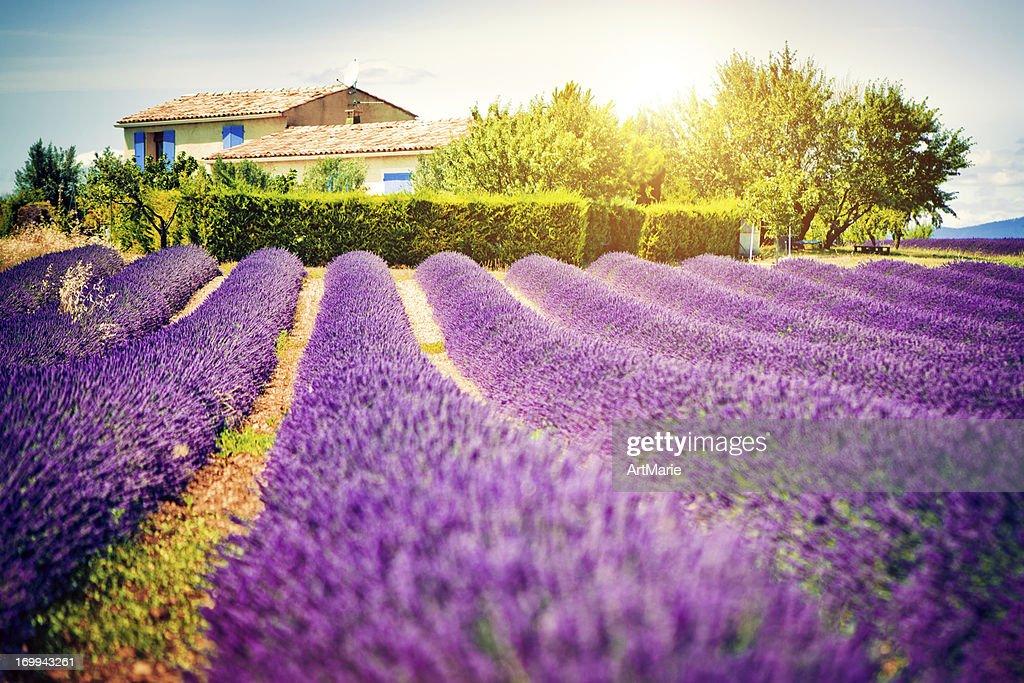 Feld von Lavendel : Stock-Foto