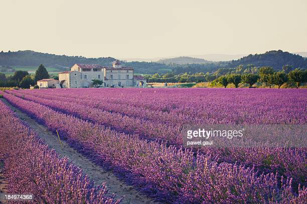 A field of lavender plants in rows