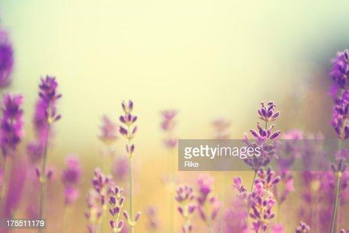 Field of lavender plants in summer