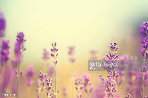 Field of lavender plants in summer
