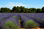 field of lavenders France
