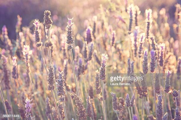 Field of lavenders glowing in the sunshine