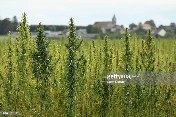 A field of legal cannabis plants selected for their low content of THC grows on August 25 2014 near Meaux France Cannabis is the source of hemp which...