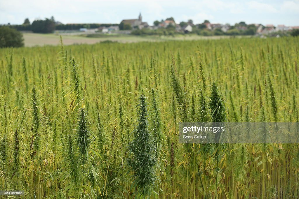 A field of legal cannabis plants selected for their low content of THC grows on August 25, 2014 near Meaux, France. Cannabis is the source of hemp, which is used in a variety of applications including insulation, textiles, rope and paper. France is the second largest producer of industrial hemp in the world after China.