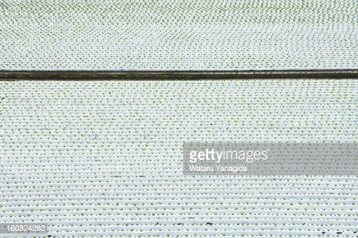 Field of lettuce : Stock Photo