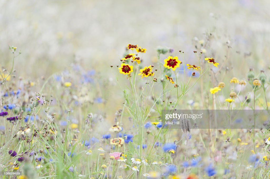 Field of mixed wildflowers : Stock Photo