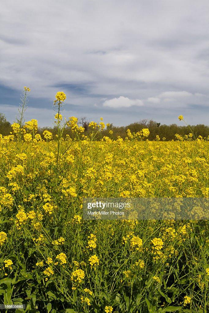 Field of Mustard Flowers