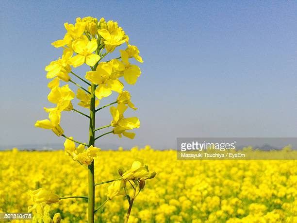 Field Of Mustard Plants Bloom Bright Yellow In Spring