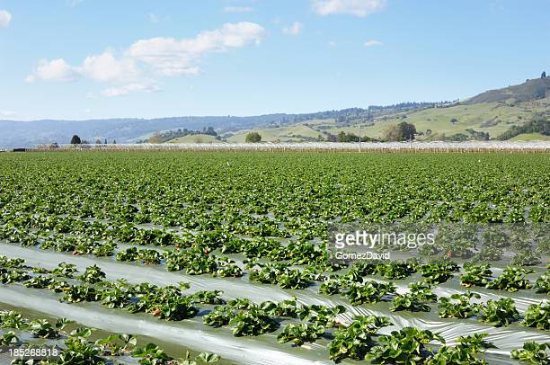 Field of New Strawberry Plants