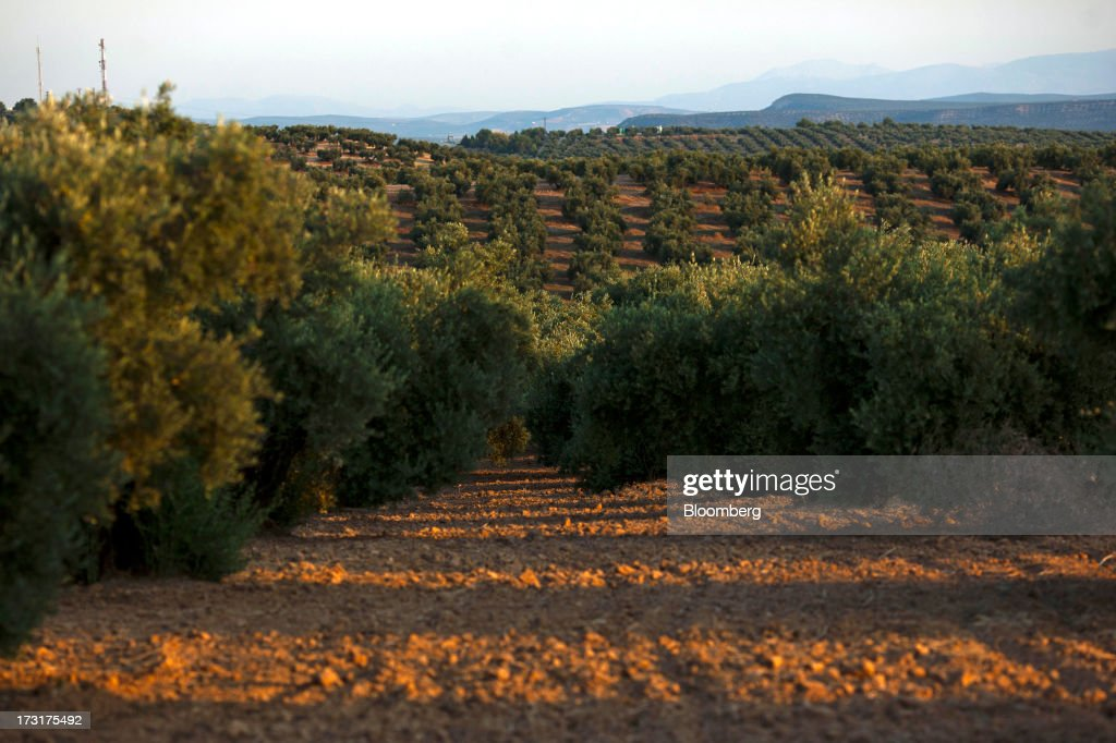A field of olive trees stands near the Carbonell SA plant, operated by Deoleo SA, in Alcolea, Spain, on Monday, July 8, 2013. JPMorgan was asked to explore sale of more than 30% stake in olive oil company Deoleo, Reuters reports, citing two people close to the deal. Photographer: Angel Navarrete/Bloomberg via Getty Images