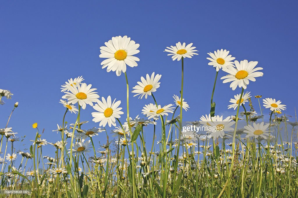 Field of ox-eye daisies (Leucanthemum vulgare), low angle view, spring