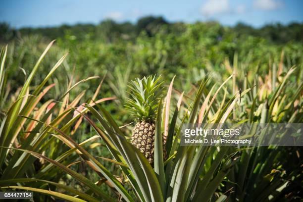 Field of Pineapple