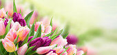 field of pink and violet tulips sky background banner