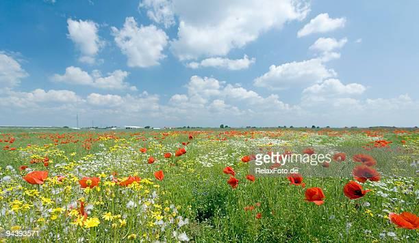 Champ de coquelicots et de fleurs romantique Fonds de nuage