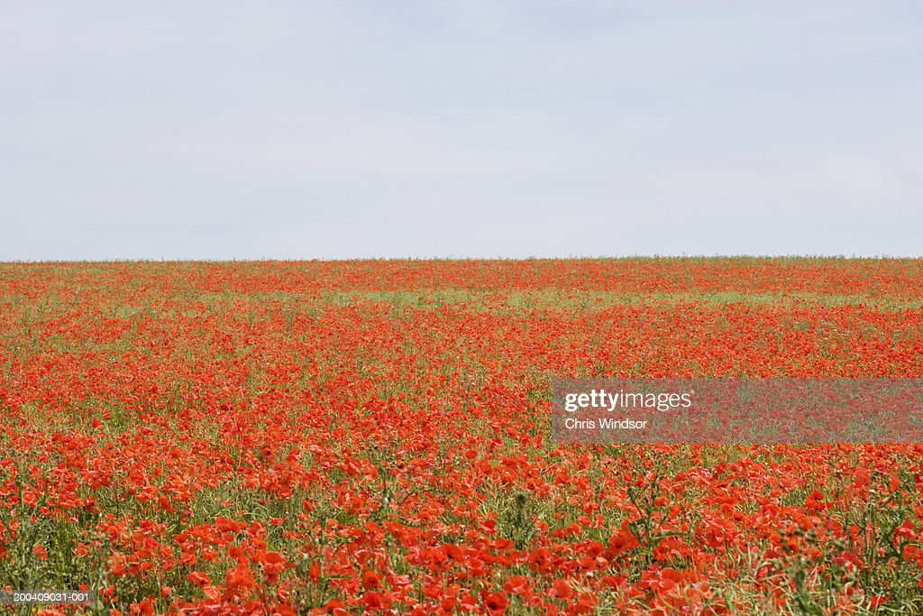 Field of poppies (Papaver sp.), elevated view : Stock Photo