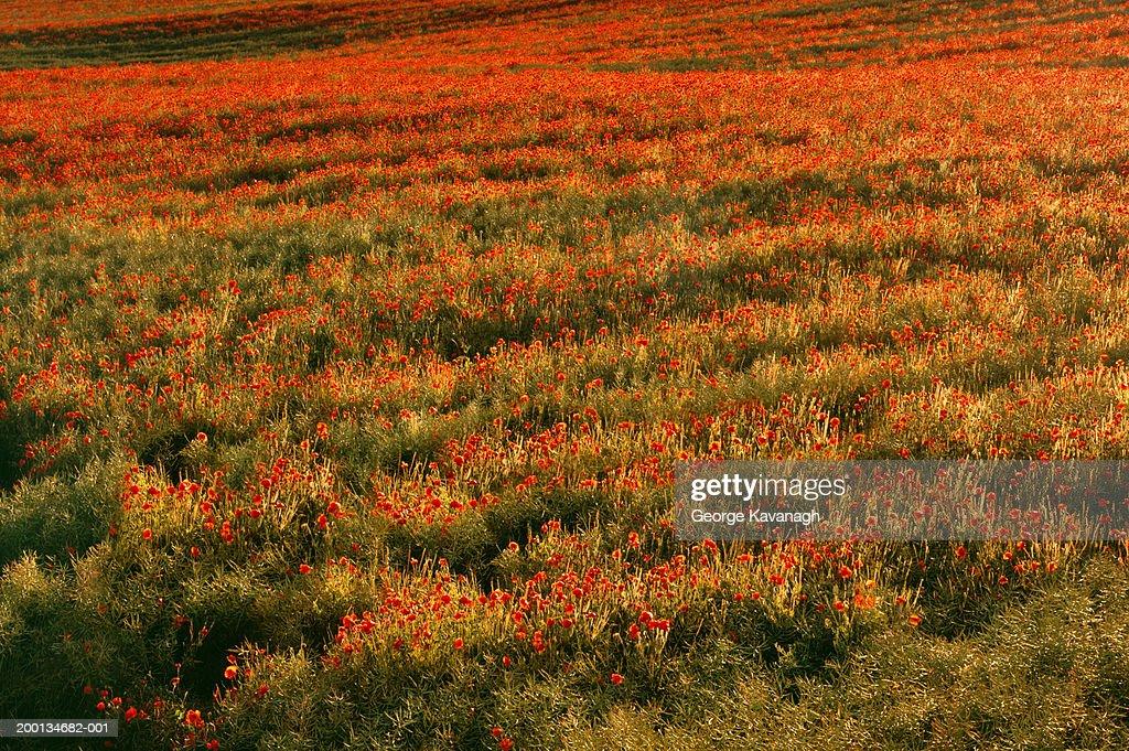 Field of poppies (Papaver rhoeas), summer : Stock Photo