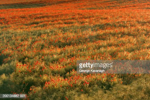 Field of poppies (Papaver rhoeas), summer : Stock Photo