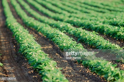 Field of potato plants : Stock-Foto