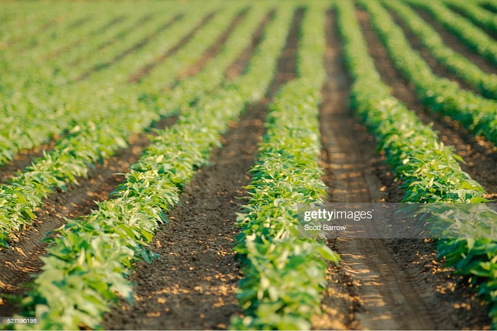 Field of potatoes : Stockfoto