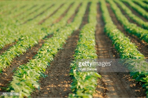 Field of potatoes : Stock Photo