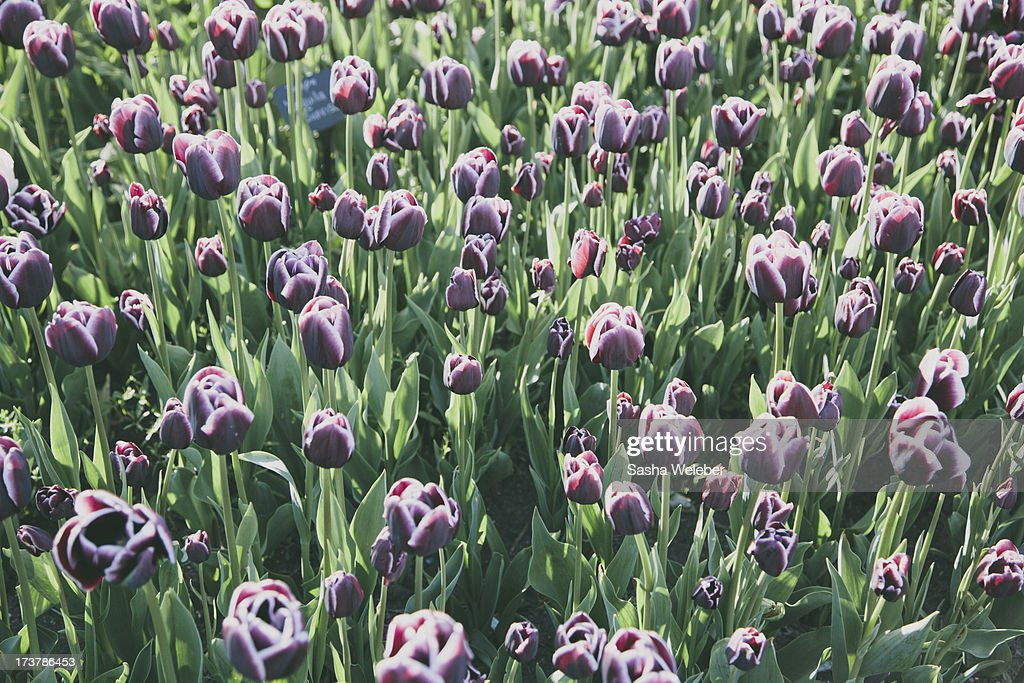 Field of purple and white tulips in spring : Stock Photo