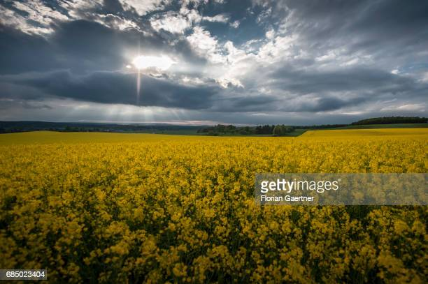 A field of rape is pictured in front of a sunset on May 14 2017 in Kodersdorf Germany
