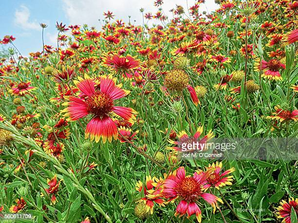 Field of red and yellow flowers
