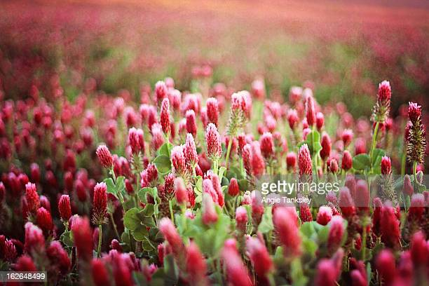 Field of Red Clover flowers