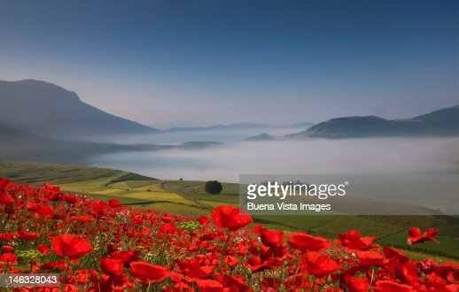 Field of red poppies and green hills
