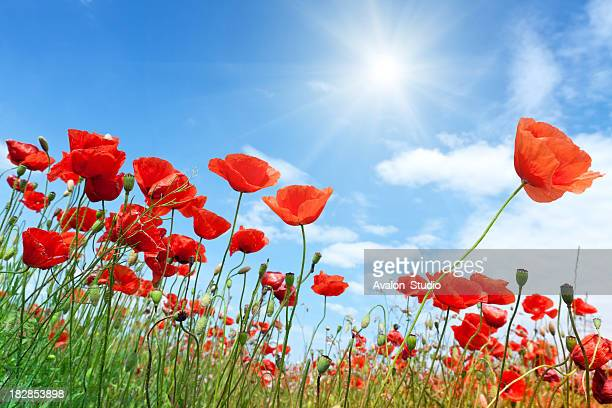 Field of red poppies with a bright sunny sky