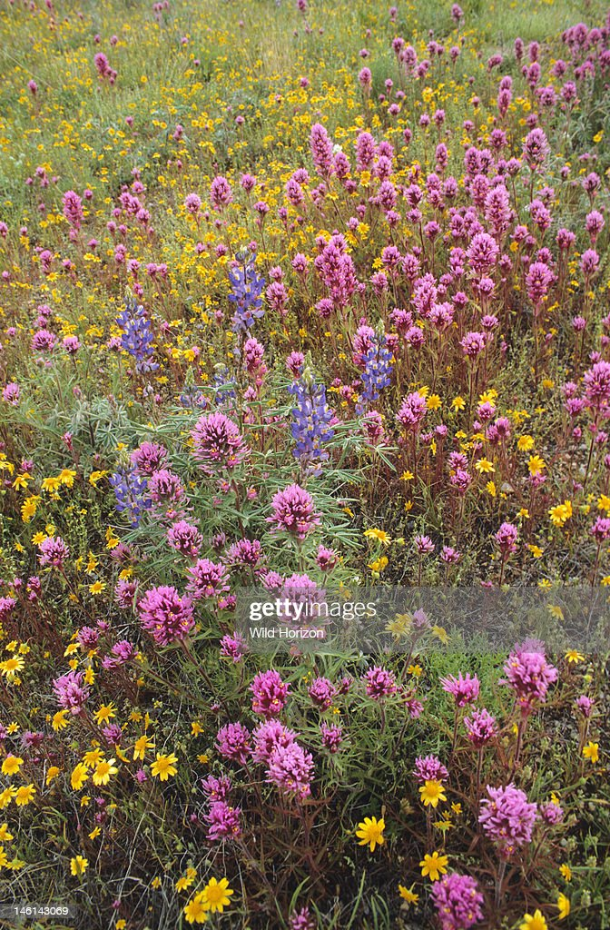 Field of spring wildflowers during an El Nino year in the Sonoran Desert including owl clover goldfields and desert lupine Owl clover Castilleja...