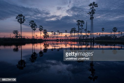 Field of sugar palm trees and reflection in the morning : Stock Photo