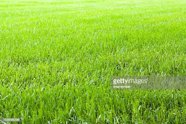 Field of summer green grass, copy space