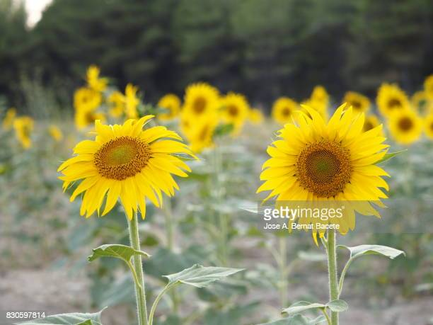 Field of sunflowers blossoms brightly lit by the sun in the field, Spain