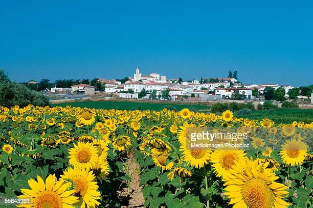 Field of sunflowers, Fuensanta, Spain