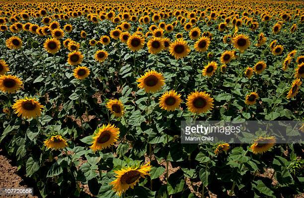 field of sunflowers growing in Tuscany