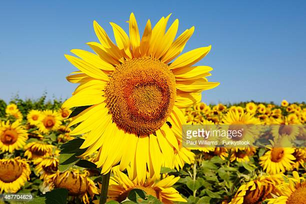 Field of sunflowers -Helianthus annuus-, Hungary