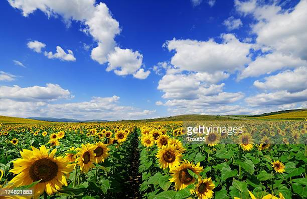 A field of sunflowers in bloom