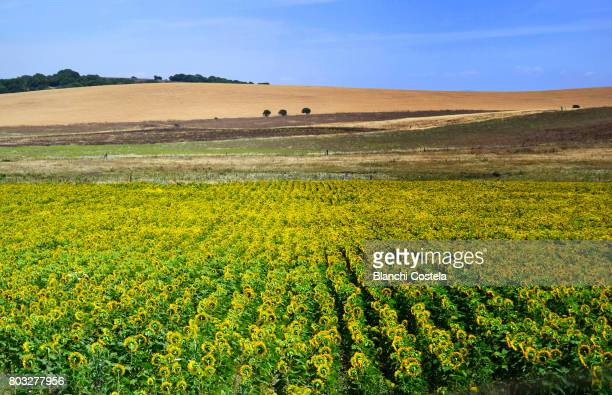 Field of sunflowers in spring