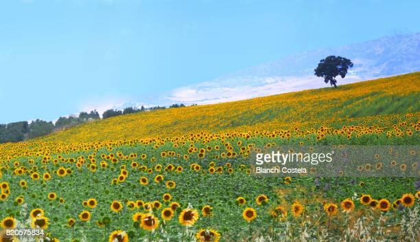 Field of sunflowers in summer