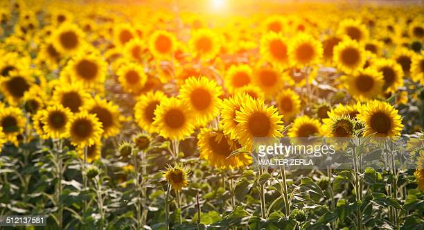Field of sunflowers in sunlight, Volterra, Tuscany, Italy