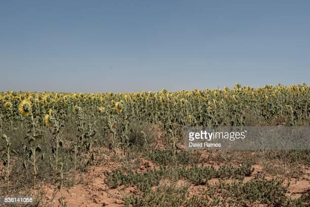 A field of sunflowers is seen on July 27 2017 in Honrubia Spain As the severe drought in Spain's Southeastern regions of Albacete Guadalajara Murcia...