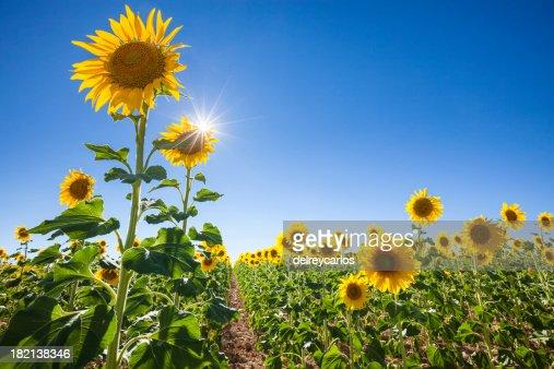 _MG_5907 Field of sunflowers .jpg Size:14 MB 5616x