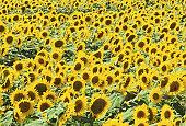 Field of sunflowers (Helianthus sp.)