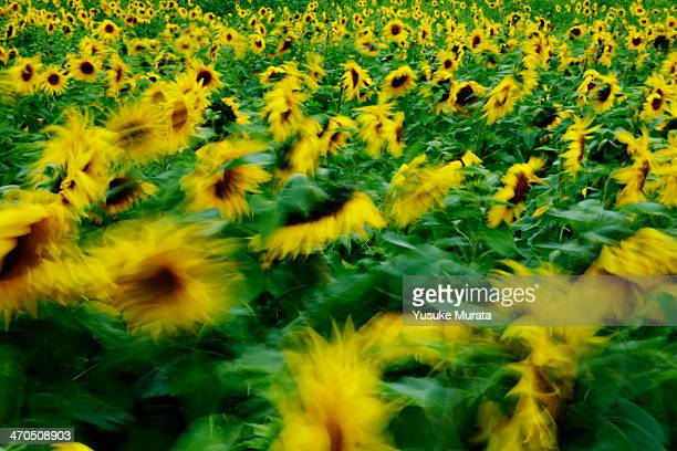 Field of sunflowers(long exposure)